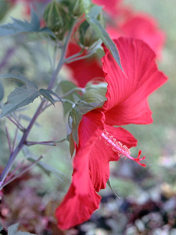 Hardy+Hibiscus%3A+comes+in+colors+of+red%2Cwhite%2C+and+pink.+This+flower+is+a+great+choice+for+someone+who+enjoys+big+flowers+rather+than+small+flowers.+These+flowers+will+attract+birds+for+bird+feeders+and+they+are+very+low+maintenance.+