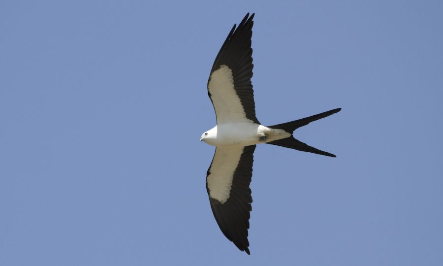Threatened Swallow Tailed Kite, photo from birdsna.org