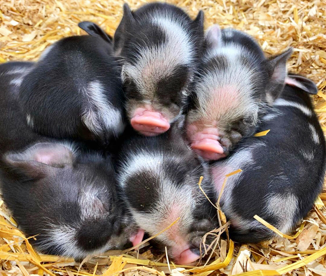 Piglets at the Coastal Carolina Fair.