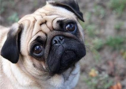 Coronavirus Infects North Carolina pug