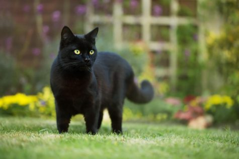 Halloween Brings Danger for Black Cats