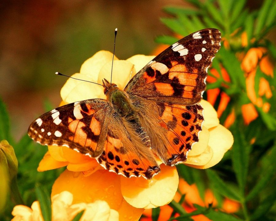 Butterfly Species Around the World