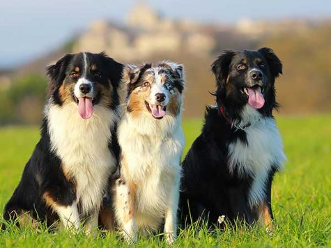 Why Australian Shepherds are Good Dogs